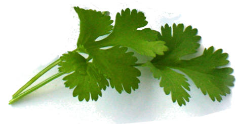 Coriander Herb of the Year